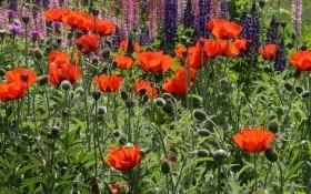 Запретный цветок: полезные и вредные свойства мака