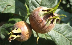 Мушмула германская: история возникновения, выращивание, полезные свойства