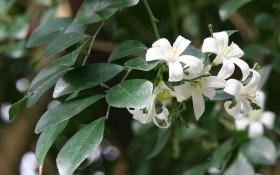 Муррайя — растение легендарное: выращивание, размножение, полезные свойства