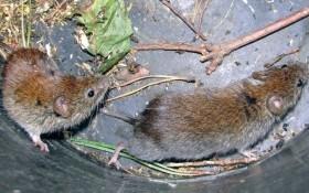 Как избавиться от крыс и мышей на даче