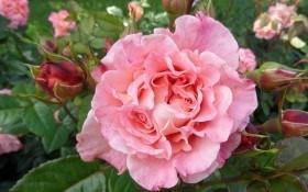 Деньги пахнут розами: закладываем коммерческий розарий