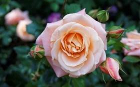 Как разводить и выращивать собственные сорта роз из семян?