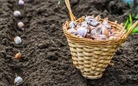 Озимый чеснок: секреты отличного урожая