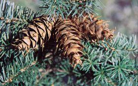 Псевдотсуга мензиса  — диковинное дерево из Ванкувера