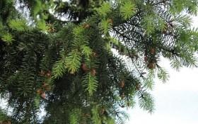Дугласия – новое чудо-дерево для Нового года?