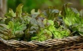О пользе выращивания сортов листового салата...