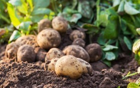 Топовий захист картоплі від шкідників та хвороб бульб