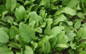 Король овощей – шпинат