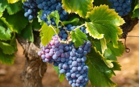 Рецепт хорошего урожая: неукрывные сорта винограда