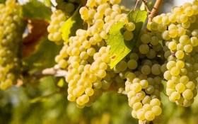 Особенности осенней защиты виноградника