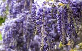 Голубой дождь глицинии: виды, особенности посадки и ухода