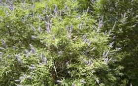 Витекс священный: как выращивать и размножать необычный кустарник?