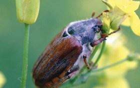 Хрущи налетели: борьба с майским жуком и его личинками