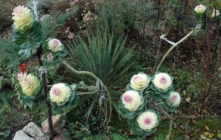 Необычный цветник из тыквы и капусты