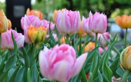 Тюльпаны – по осени считают