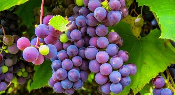 Виноградно-полевой госпиталь: восстановление растений после града