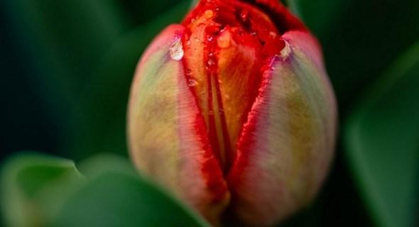 Тюльпаны расцветут к Новому году...