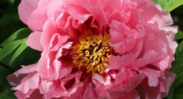 Хирургия цветника: вегетативное размножение растений