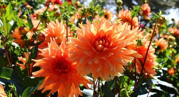 Украшение цветника: готовим к посадке георгины