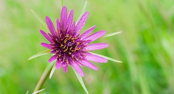 Овсяный корень: выращивание, применение, лечебные свойства