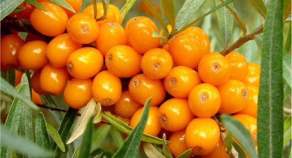 Чудо–ягода облепиха: сорта, выращивание и применение