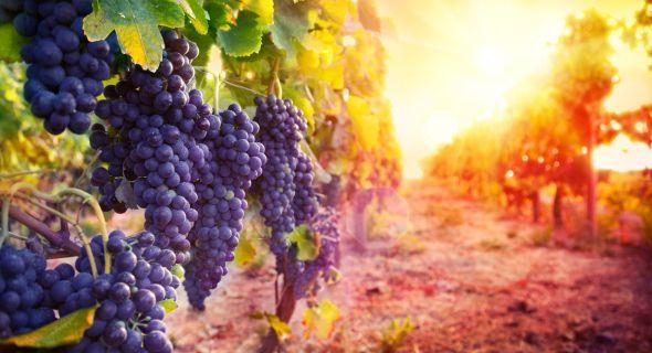 Куда течет вода… Поливы на винограднике