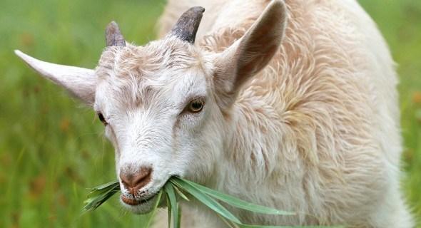 Коза-дереза: породы коз для разведения