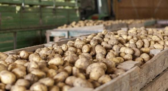 Как правильно хранить картошку в подвале