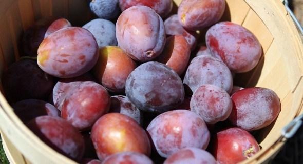 Время сливы: урожайные сорта для приусадебного участка