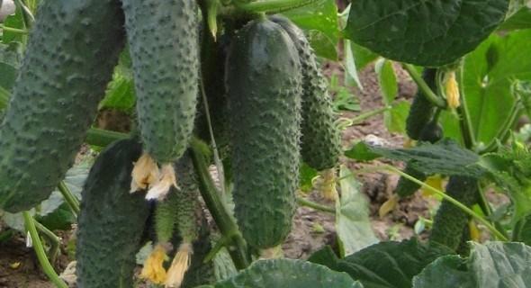 Кураж: высокоурожайные огурцы на вашей грядке
