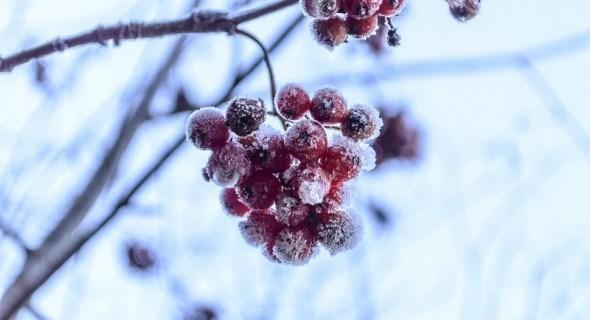 В студеную зимнюю пору: защищаем плодовый сад...