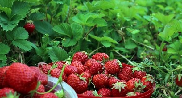 Живая ягода: выращивание органической земляники