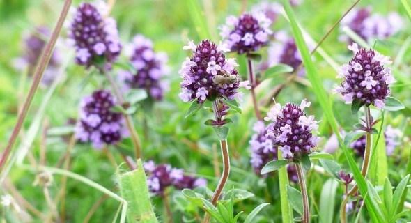 Цветет и пахнет божественный тимьян!