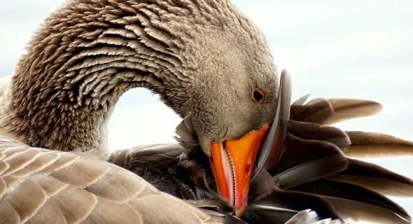 Пора любви: племенной сезон у домашних гусей