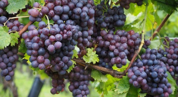Урожай винограда – собираем и храним
