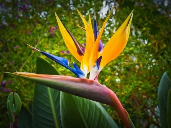 Стрелиция: выращиваем экзотический цветок
