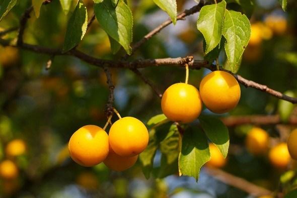 Как защитить алычу от сливовой плодожорки?