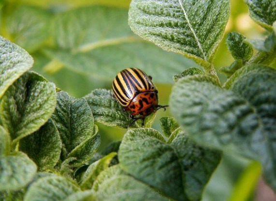 Как избавиться от колорадского жука