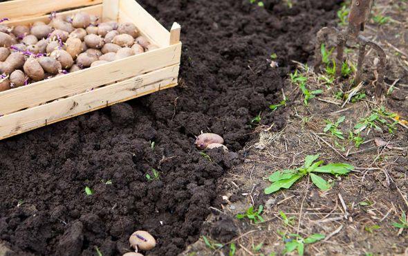 О сроках и особенностях посадки картофеля
