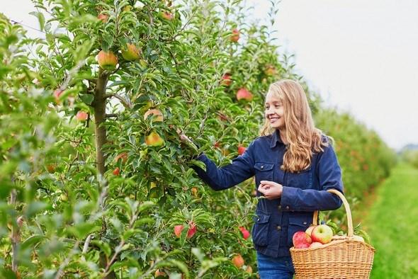 Девушка сад яблоня урожай сбор