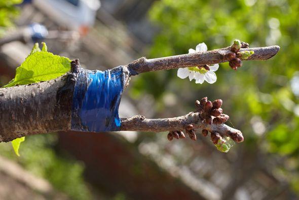 О пользе и правилах прививки плодовых деревьев