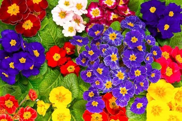 Солнца красочные блики: яркие примулы в вашем цветнике