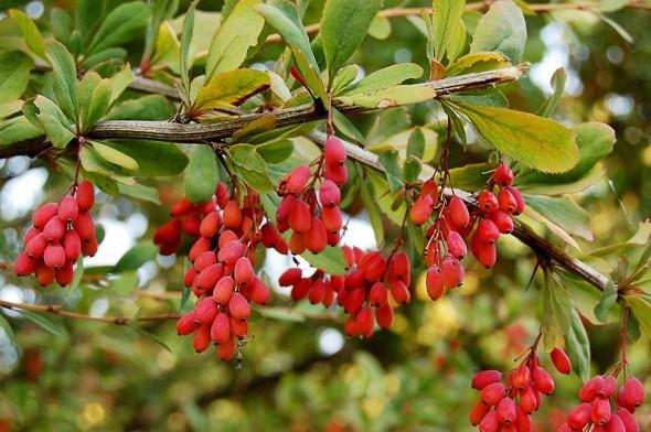 Барбарис плоды куст
