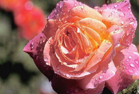 Чайно-гибридные розы наполнят ваш сад ароматами и яркими красками