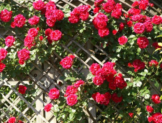 4 самых легендарных сорта роз