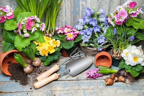 Вегетативное размножение цветочных растений: черенки, отводки, усы, побеги, «детки»