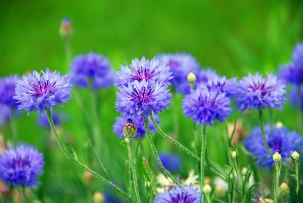 Яркие васильки: сорта, виды и агротехника