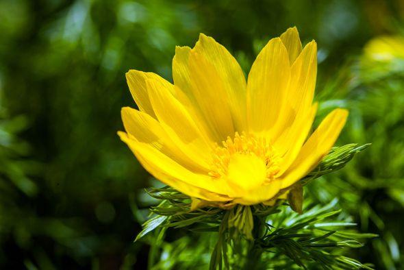 Горицвет — популярный и любимый в народе весенний первоцвет