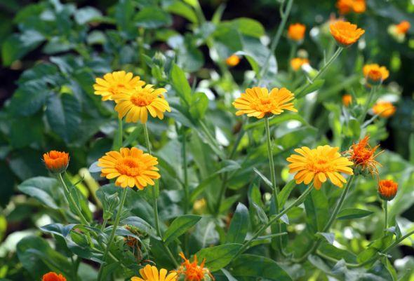 Ноготки календула в саду