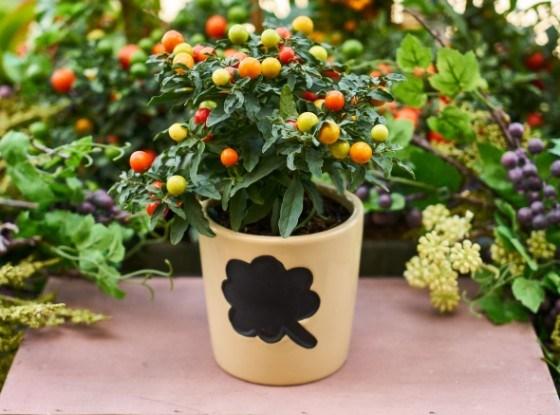 Выращиваем паслен перцевидный